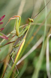 Praying mantis. Mantis religiosa, waiting for prey Stock Photos