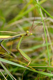 Praying mantis. European Mantis or Praying mantis Royalty Free Stock Photos