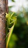 Praying Mantis. Close-up of praying mantis climbing tree Stock Image