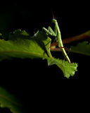 Praying Mantis. A green praying mantis insect is standing on a leaf on a black background Royalty Free Stock Images