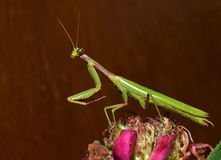 Praying mantis. On the brown background Royalty Free Stock Image