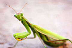 Praying Mantis. Close up of a praying mantis Stock Photo