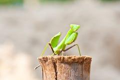 Praying Mantis Stock Images