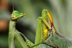 Praying mantis. A closeup of a praying mantis, waiting for a prey Stock Image