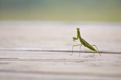 Praying Mantis (disambiguation). Praying mantis on a wooden deck Stock Image