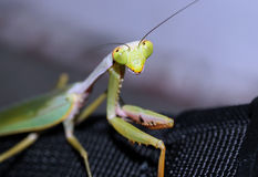 Praying Mantis. Close-up, Manado, Indonesia Stock Photo