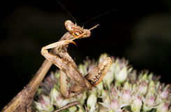 Praying mantis. The mantis is cleaning itself stock photography