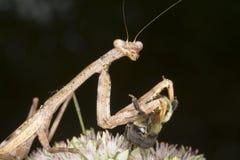 Praying mantis. The mantis eating the bumblebee stock image