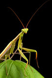 Praying mantis Royalty Free Stock Image