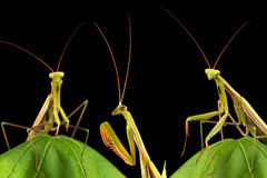 Praying mantis. Isolated on black background Royalty Free Stock Image
