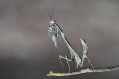 Praying mantis. A beautiful wild praying mantis pose to the camera Royalty Free Stock Photography