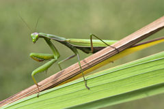 Praying mantis Royalty Free Stock Images