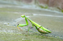 Praying mantis. Sitting on a rock, closeup Royalty Free Stock Images