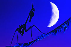 Praying mantis. Empusa Pennata Female silhouette in the night with moon Stock Photo
