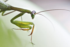 Praying mantis. Green praying mantis side face Royalty Free Stock Photos