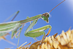 Praying mantis. In blue blackground Stock Photography