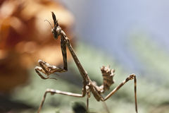 Praying mantis. Empusa Pennata Female pose in leaf Stock Photo