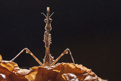 Praying mantis. Mantis Empusa Pennata,female blackground Stock Image