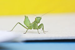 Praying mantis. Green Mantis amelis spallanzania,female Royalty Free Stock Images