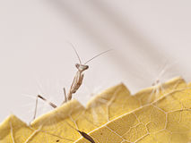 Praying mantis. Iris Oratoria Mantis Ninfa in yellow leaf Stock Images