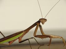 Praying Mantis. This is a praying mantis that I saw one morning as I walked out of the house who posed for me royalty free stock photography
