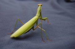 Praying mantis. A beautiful green praying mantis on a blue background Stock Photo