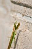 Praying mantis. Macro image of praying mantis on cement wall Stock Photography