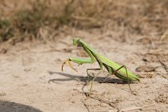 Praying mantis. On the sand stock images