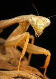 Praying Mantis. (Stagmomantis californica). Close-up of  waiting for a meal Stock Image