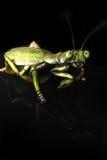 A praying mantis Stock Image