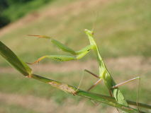 Praying mantis. Photographed with olympus mju micro 4.0 MP Royalty Free Stock Photos