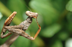 Praying Mantis. Focused on head Royalty Free Stock Photo