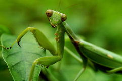 Praying Mantis. Portrait shot of a praying mantis on leaves royalty free stock photography