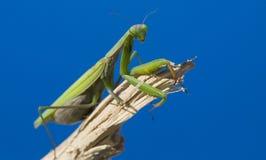 Free Praying Mantis Royalty Free Stock Images - 5717109