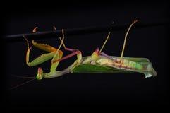 Free Praying Mantis Royalty Free Stock Photography - 5899087
