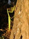 Praying mantis. Lying-in-wait on tree trunk Royalty Free Stock Image