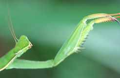 Praying mantis. Detail of a praying mantis - mantis religiosa Stock Photography