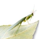 Praying Mantis. On a Leaf - Profile View Stock Photo