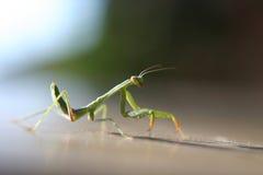 Praying Mantis. Walking around in natural light royalty free stock photography
