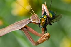 Praying Mantis. An adult brown praying mantis eating a fly Stock Image