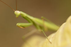 Praying mantis adult female portrait.  royalty free stock photo