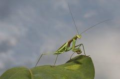 Praying Mantis against sky Stock Photo
