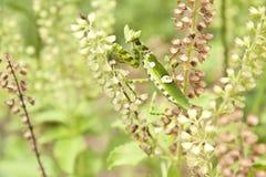 Praying mantis on basil Royalty Free Stock Photography