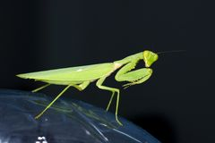 Praying mantis with black background Royalty Free Stock Images