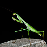 A Praying Mantis on The Black background Royalty Free Stock Images