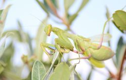 Insects from Africa - Praying Mantis Royalty Free Stock Photos