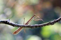 Praying mantis on branch, mantis. Praying mantis on branch, beautiful insect Royalty Free Stock Photos