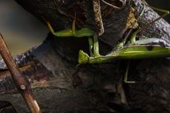 Praying mantis on a branch Royalty Free Stock Image