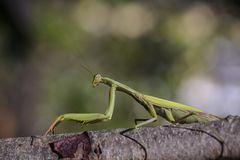 Praying mantis on a branch Royalty Free Stock Photography