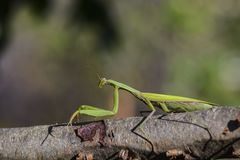 Praying mantis on a branch Royalty Free Stock Photo
